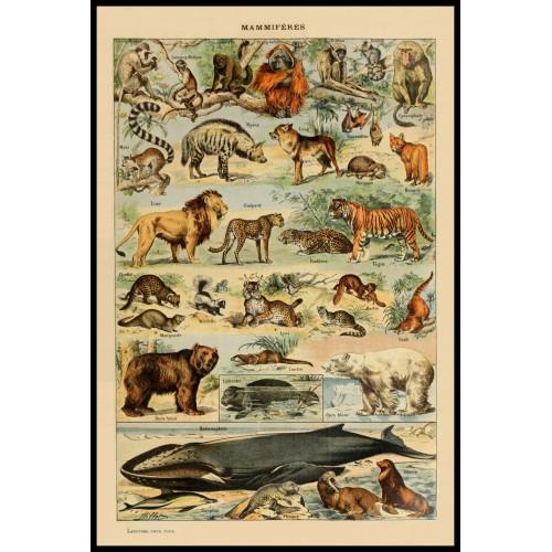 ANIMALS (Mamiferes) Circa 1897