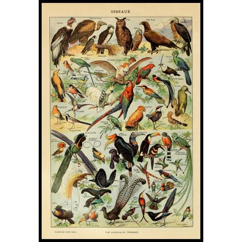BIRDS (Oiseaux) Circa 1897