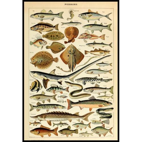 FISHES (Poissons) Circa 1897