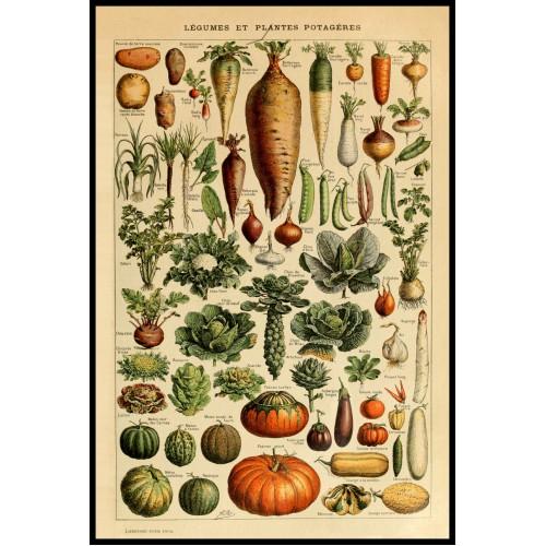 LEGUMES (Vegetables) Circa 1897