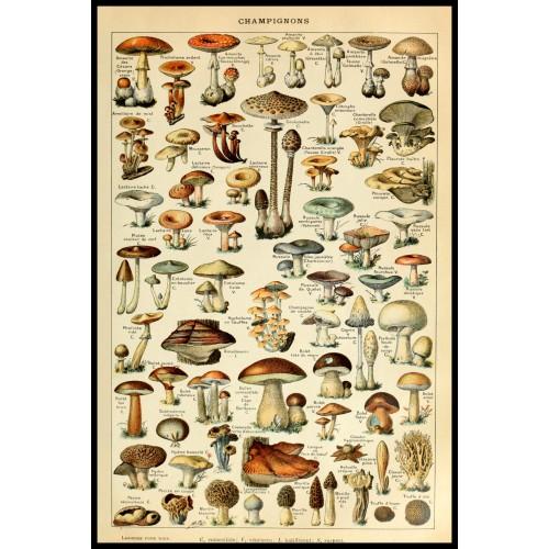 MUSHROOMS (Champignons) Circa 1897